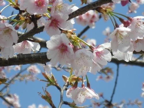 125つくばの桜s-IMGP7545.JPG