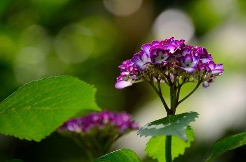 06紫陽花s500_DSC_8055_.JPG