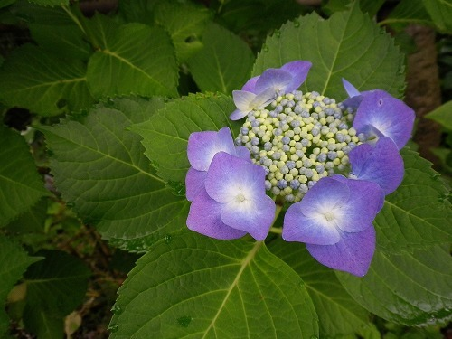 s-IMGP0180紫陽花.jpg
